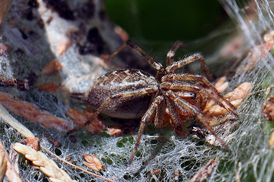 Erembodegem - Common Labyrinth Spider