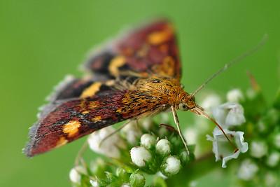 Erembodegem - Macro Mint Moth