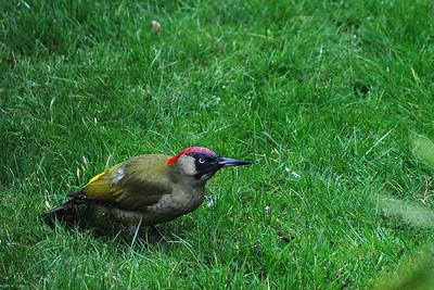 Erembodegem - Green Woodpecker looking for Food