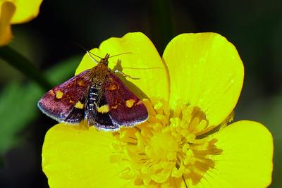 Erembodegem - Mint Moth