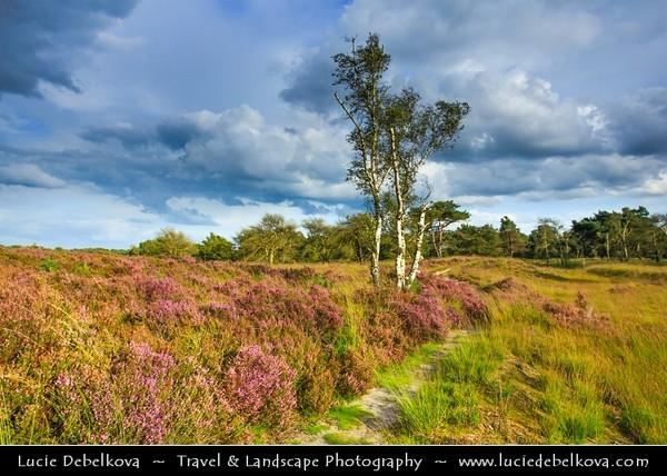 Europe - Belgium - Kalmthoutse Heide - Heath vegetation in nature reserve on the Belgian-Dutch border