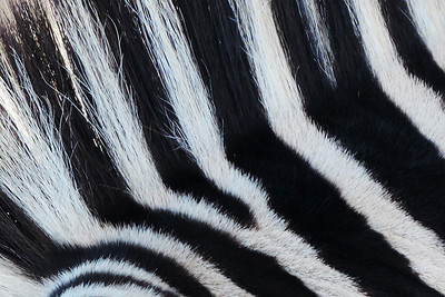 Zebra Mane Abstract