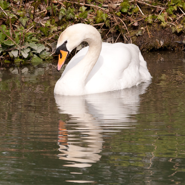 Swan on the Kennet and Avon Canal, Hungerford, England.