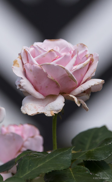 An almost-spent rose