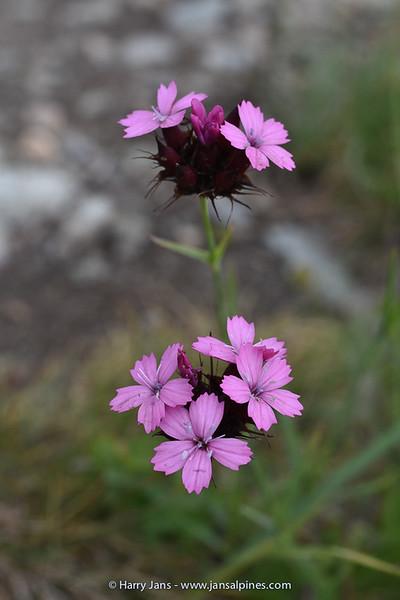 Dianthus moesiacus