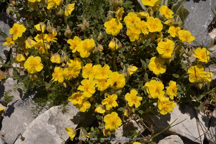 Helianthemum nummulariifolium ssp. obscurum