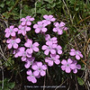 Dianthus microlepis