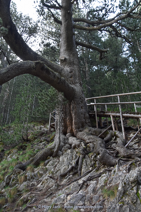 1300 year old Pinus heldreichii
