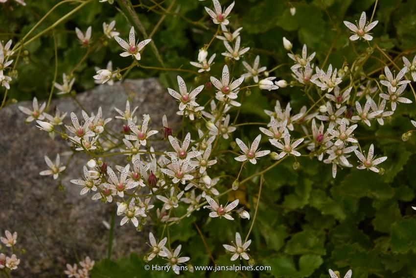 Saxifraga rotundifolia var. heucherifolia
