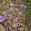 Dianthus spec. ?