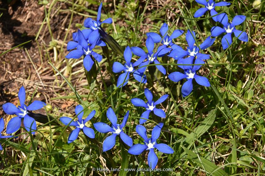 Gentiana verna ssp. balcanica