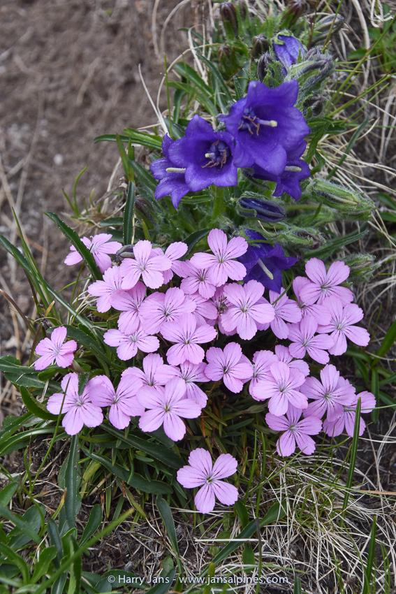 Dianthus microlepis & Campanula alpina