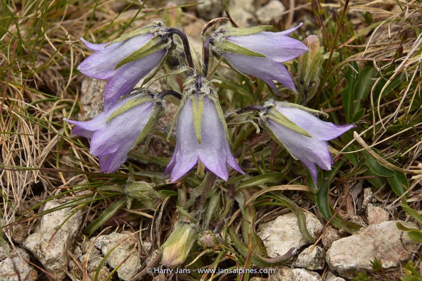 Campanula alpina ssp.orbelica (pale blue)