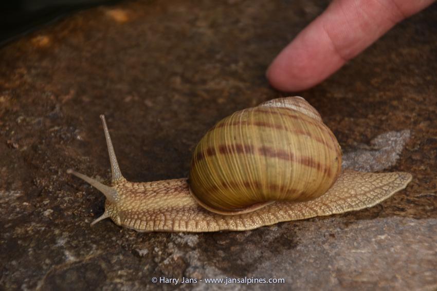 Helix pomatia (Burgundy snail)