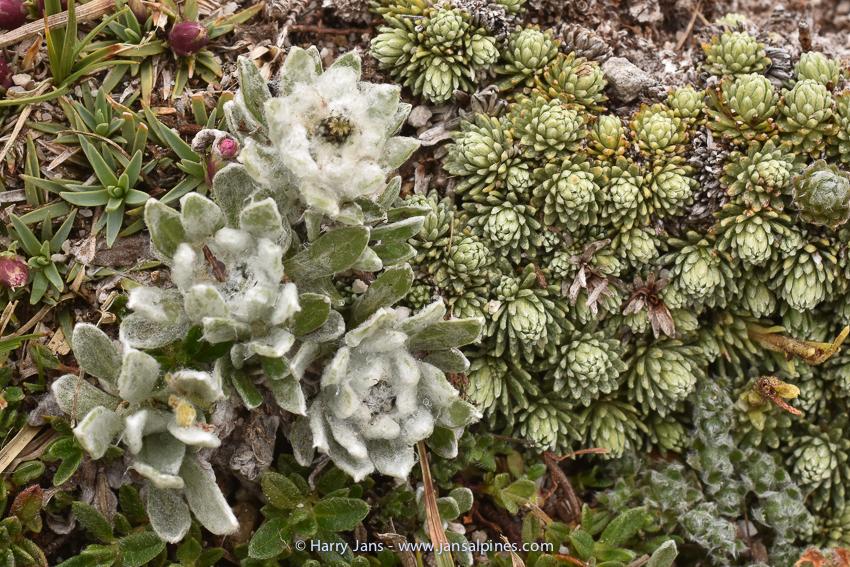 Leontopodium alpinum var nivale (Pirin form), Saxifraga ferdinandi-coburgii, Androsace villosa
