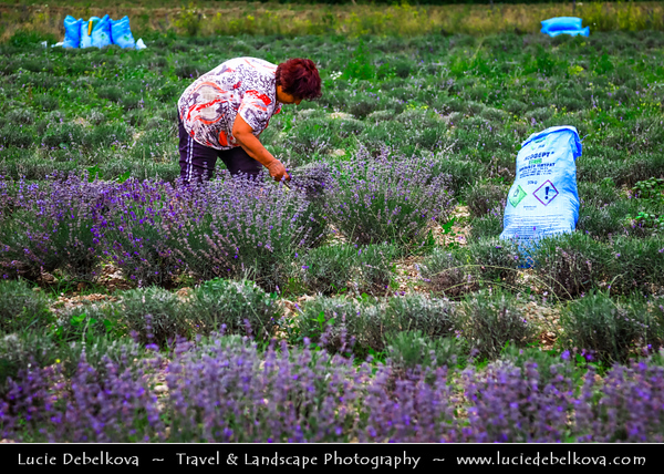 Eastern Europe - Bulgaria - България - Rose Valley - Розова долина - Rozova dolina - Lavender fields in full bloom with lovely violet flowers and gentle, mesmerising aroma for production of organic Bulgarian Lavender Oil - Area surrounded by mountains of Central Balkan National Park - Lavender Harvest
