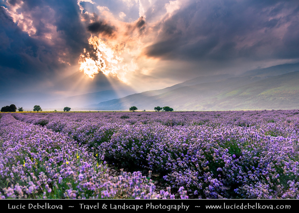 Eastern Europe - Bulgaria - България - Rose Valley - Розова долина - Rozova dolina - Lavender fields in full bloom with lovely violet flowers and gentle, mesmerising aroma for production of organic Bulgarian Lavender Oil - Area surrounded by mountains of Central Balkan National Park