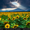 Eastern Europe - Bulgaria - България - Rose Valley - Розова долина - Rozova dolina - Golden Sunflower Fields in full bloom with large yellow flowers surrounded by mountains of Central Balkan National Park
