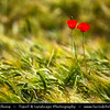 Eastern Europe - Bulgaria - България - Central Balkan National Park situated in the heart of Bulgaria, nestled in the central and higher portions of the Balkan Range - Field of right red poppies in full bloom
