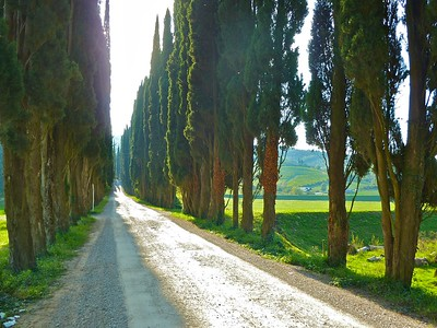 Avenue of Italian Cypress trees