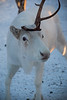 Reindeer at the Snow Hotel