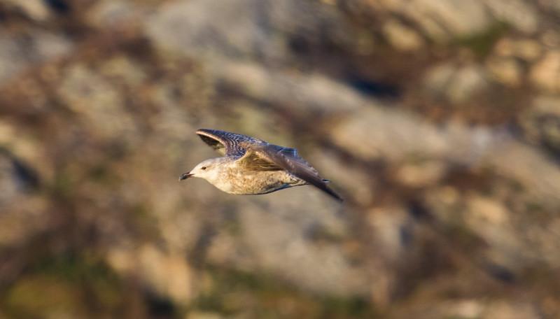 Gull near Stigen