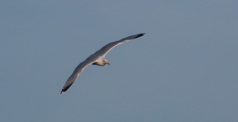 Trondheim Gull