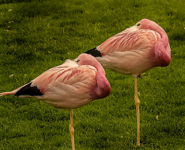 Flamingos Resting - Slimbridge WWC