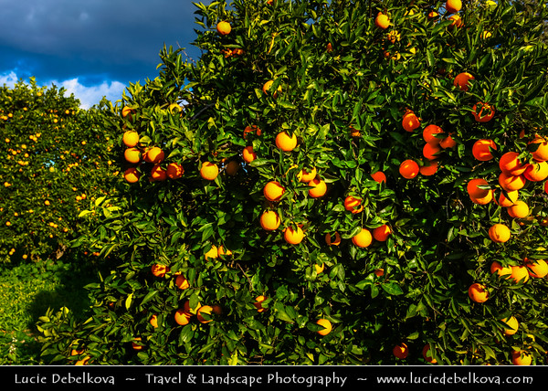 Cyprus - Κύπρος - Kýpros - The third largest island in the Mediterranean Sea - Larnaca - Λάρνακα - Lárnaka - Orange trees with juicy and sweet oranges