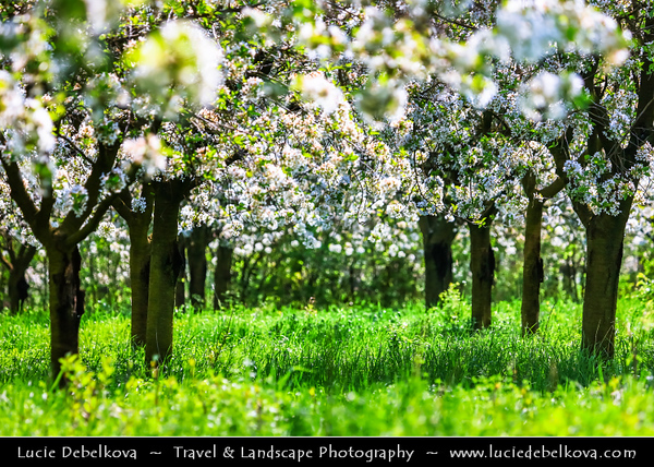 Europe - Czech Republic - Czechia - Jižní Morava - South Moravia - Buchlovice - Cherry Blossoms Trees in Full Bloom during spring time