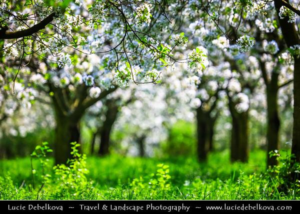 Europe - Czech Republic - Czechia - Jižní Morava - South Moravia - Buchlovice - Cherry Blossoms Trees in Full Bloom during spring time