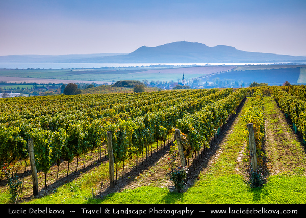 Europe - Czech Republic - Czechia - Jižní Morava - South Moravia - Gotberg Vineyards - Rows of grape bearing vine plantation for winemaking on Moravian wine path during autumn time with fall warm changing colors