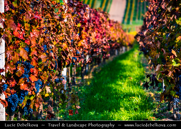 Europe - Czech Republic - Czechia - Jižní Morava - South Moravia - Moravské Toskánsko - Moravian Tuscany - Vineyards - Rows of grape bearing vine plantation for winemaking on Moravian wine path during autumn time with fall warm changing colors - Čejkovice Area