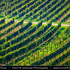 Europe - Czech Republic - Czechia - Jižní Morava - South Moravia - Velké Bílovice - Vineyards - Rows of grape bearing vine plantation for winemaking