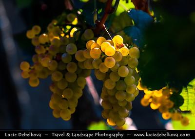 Europe - Czech Republic - Czechia - Jižní Morava - South Moravia - Moravské Toskánsko - Moravian Tuscany - Vineyards - Rows of grape bearing vine plantation for winemaking