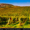 Europe - Czech Republic - Czechia - Jižní Morava - South Moravia - Pálava Protected Landscape Area - UNESCO biosphere reserve & Vineyards - Rows of grape bearing vine plantation for winemaking on Moravian wine path during autumn time with fall warm changing colors