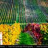 Europe - Czech Republic - Czechia - Jižní Morava - South Moravia - Moravské Toskánsko - Moravian Tuscany - Vineyards - Rows of grape bearing vine plantation for winemaking on Moravian wine path during autumn time with fall warm changing colors - Čejkovice Area