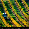 Europe - Czech Republic - Czechia - Jižní Morava - South Moravia - Moravské Toskánsko - Moravian Tuscany - Vineyards - Rows of grape bearing vine plantation for winemaking on Moravian wine path during autumn time with fall warm changing colors