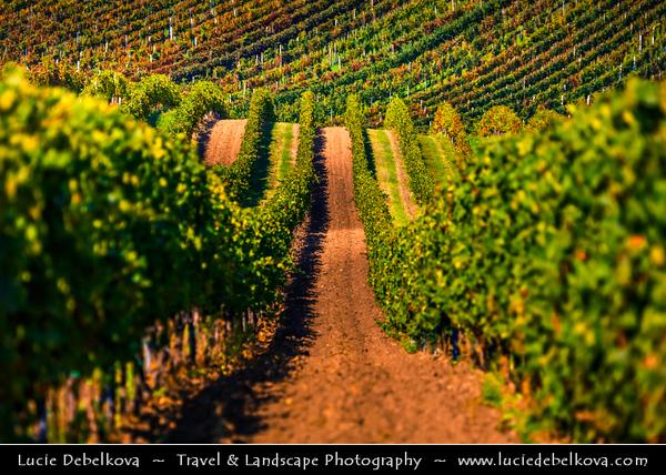 Europe - Czech Republic - Czechia - Jižní Morava - South Moravia - Velké Bílovice - Vineyards - Rows of grape bearing vine plantation for winemaking