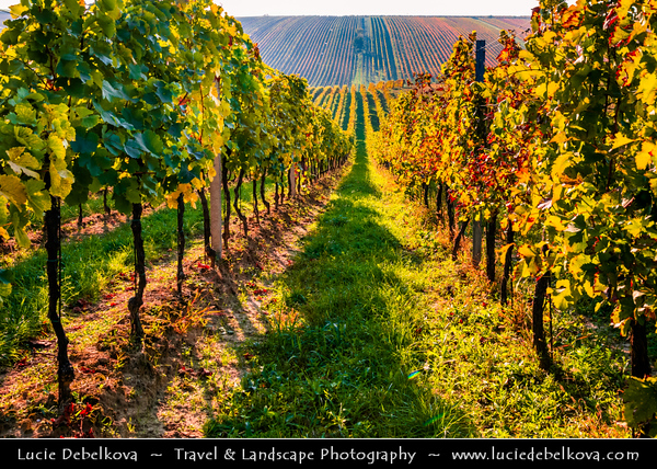Europe - Czech Republic - Czechia - Jižní Morava - South Moravia - Cejkovice - Čejkovice Vineyards - Rows of grape bearing vine plantation for winemaking on Moravian wine path during autumn time with fall warm changing colors