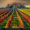 Europe - Czech Republic - Czechia - Jižní Morava - South Moravia - Moravské Toskánsko - Moravian Tuscany - Vineyards - Rows of grape bearing vine plantation for winemaking on Moravian wine path during autumn time with fall warm changing colors