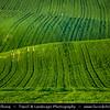 Europe - Czech Republic - Czechia - Jižní Morava - South Moravia - Moravské Toskánsko - Moravian Tuscany - Soft rolling hills and fields looking like a wave with bright green color during spring time - Slavná Moravská pole behem jara