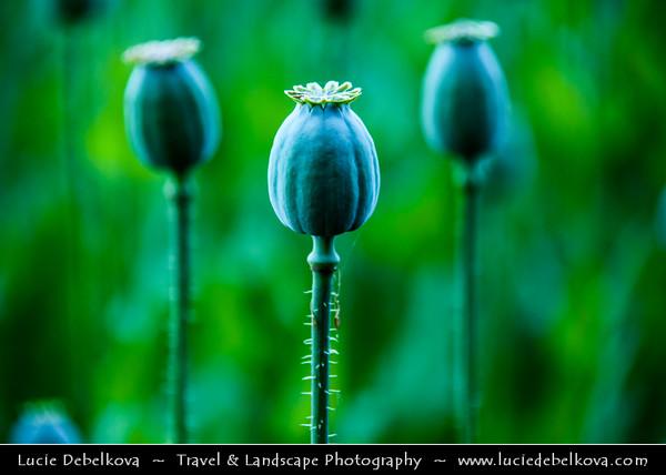 Europe - Czech Republic - Bohemia - Prague Surrounding - Field of Maturing White Poppy Seeds