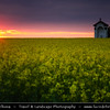 Europe - Czech Republic - Bohemia - Prague - Praha - Yellow Mustard Flower Field during Stormy Sunset