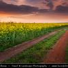 Europe - Czech Republic - Bohemia - Prague - Praha - Yellow Mustard Flower Field during Stormy Sunset