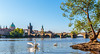 Swans with Charles Bridge
