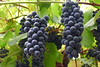 Czech Wine Grapes