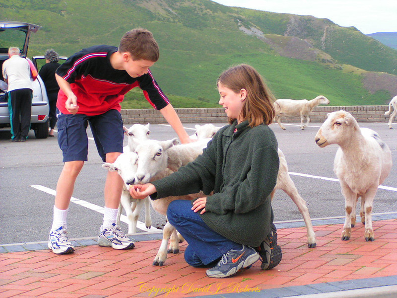 Rachel and Ryan with friendly sheep in Wales