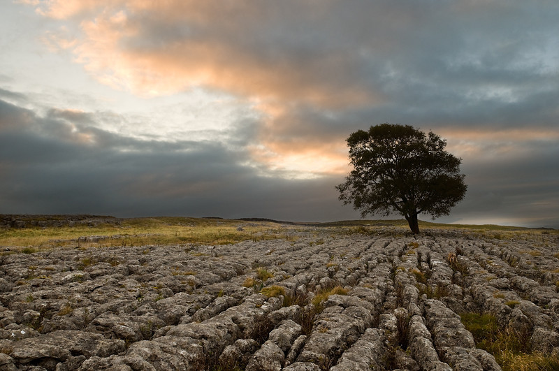 A lone Hawthorn tree on limestone pavement outside Malham, Yorkshire