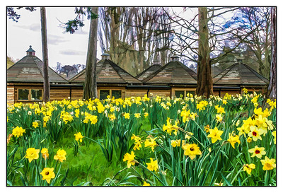 Daffodils, Heever Castle, England, 2004